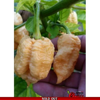 TRINIDAD MORUGA SCORPION 10 SEEDS ISOLATED PLANTS