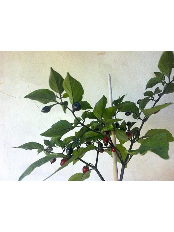 10 Semi/Seeds  Bico Roxa raro
