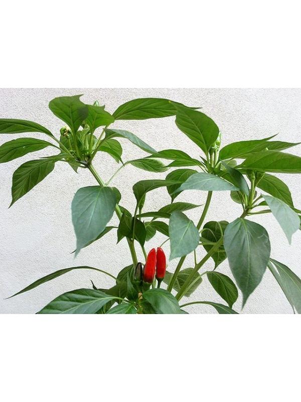 10 Semi/Seeds Calabria 9 Hot