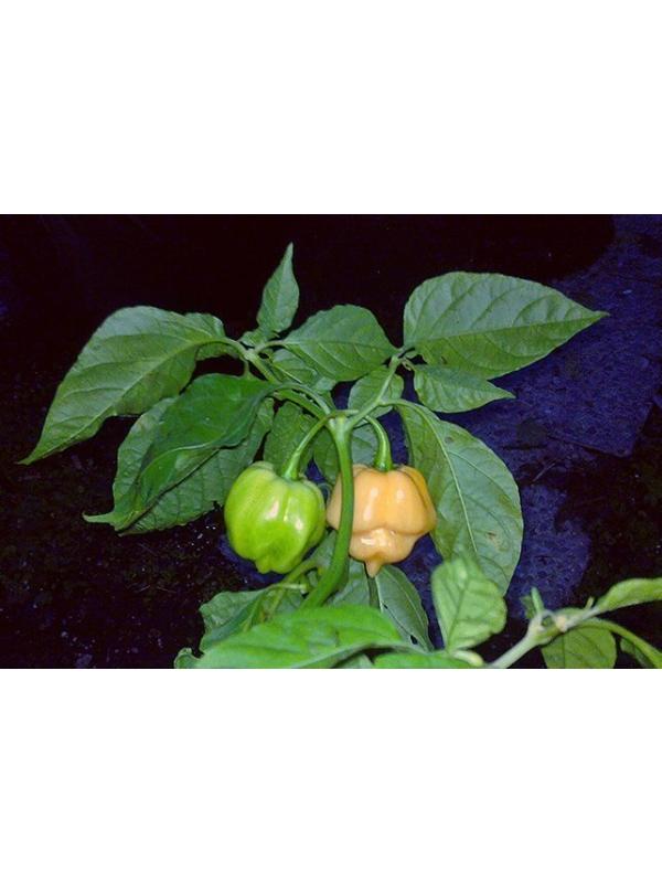 10 Semi/Seeds Arriba Saia o Pimenta Umbico de  Tainha