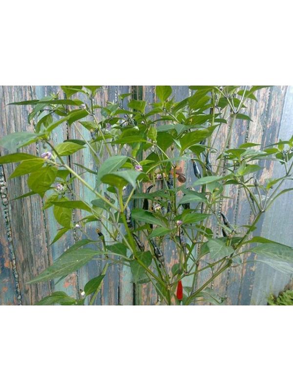 10 Semi/Seeds Aussie Black