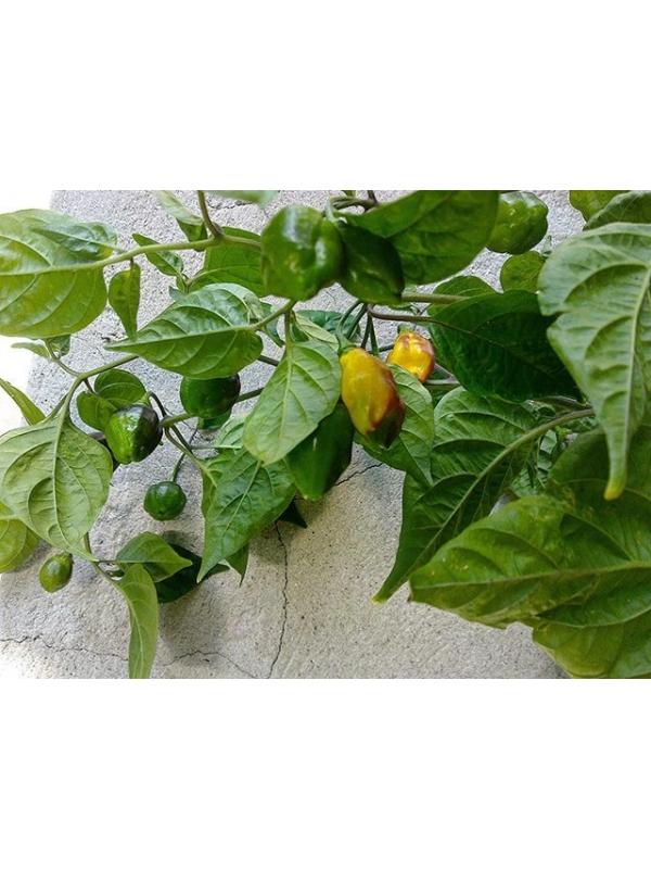 10 Semi/Seeds Bolivian Bumpy