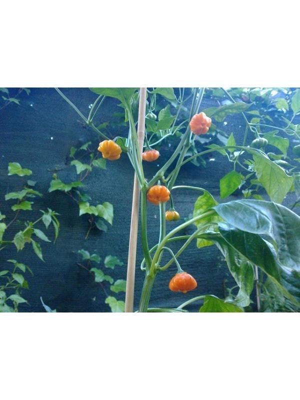 10 Semi/Seeds Aji Brazilian Starfish Orange