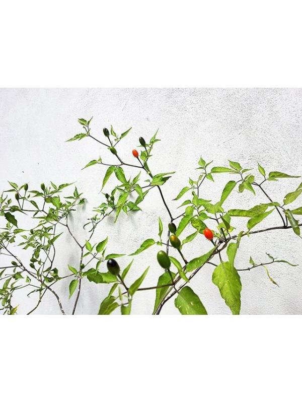 10 Semi/Seeds Cap 499 Capsicum Chacoense