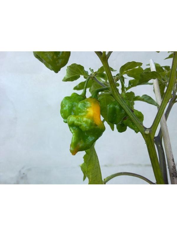 10 Semi/Seeds Carbonero