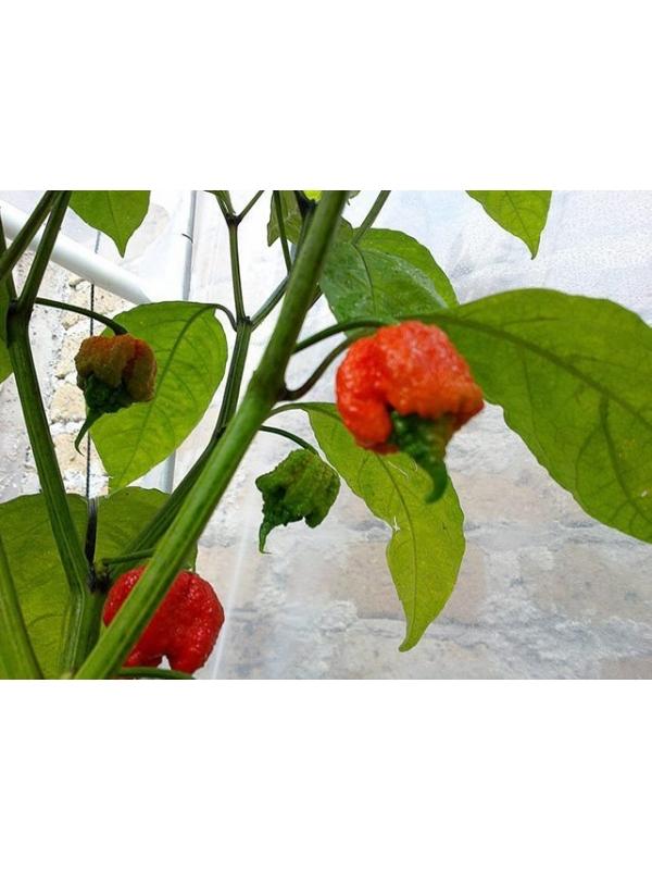 10 Semi/Seeds Carolina Reaper