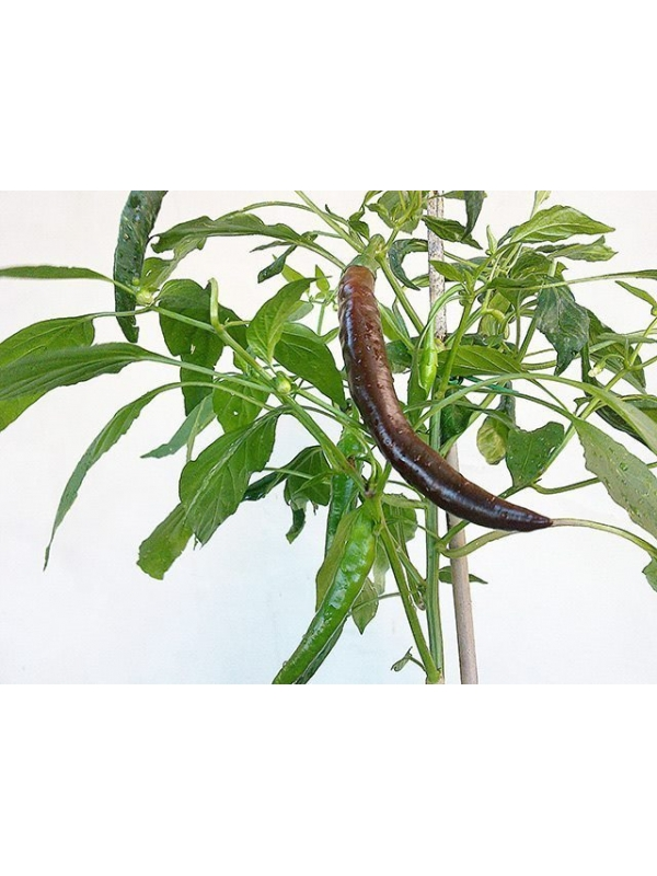 10 Semi/Seeds Cayenne Chocolate