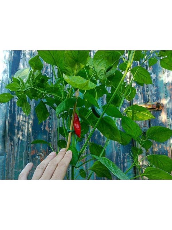 10 Semi/Seeds Dedo De Moca