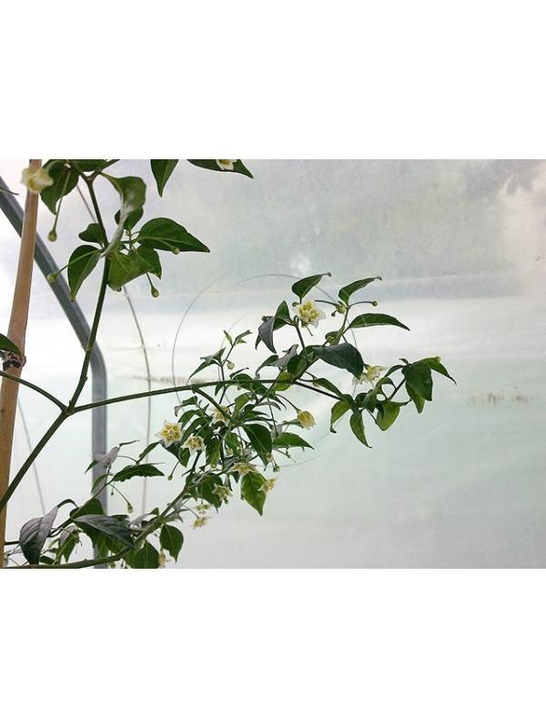 7 Semi/Seeds Capsicum Flexuosum