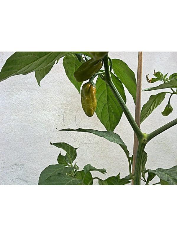 10 Semi/Seeds Habanero Mustard Bullet