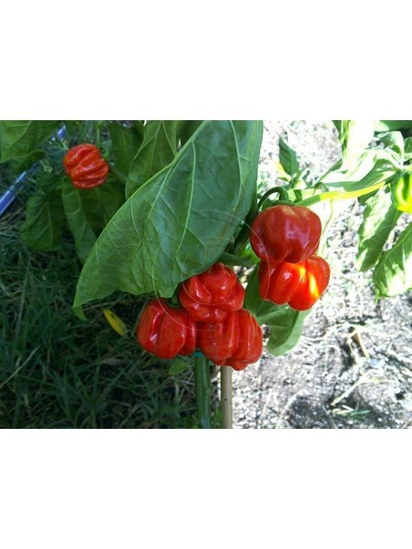 10 Semi/Seeds Habanero El Remo