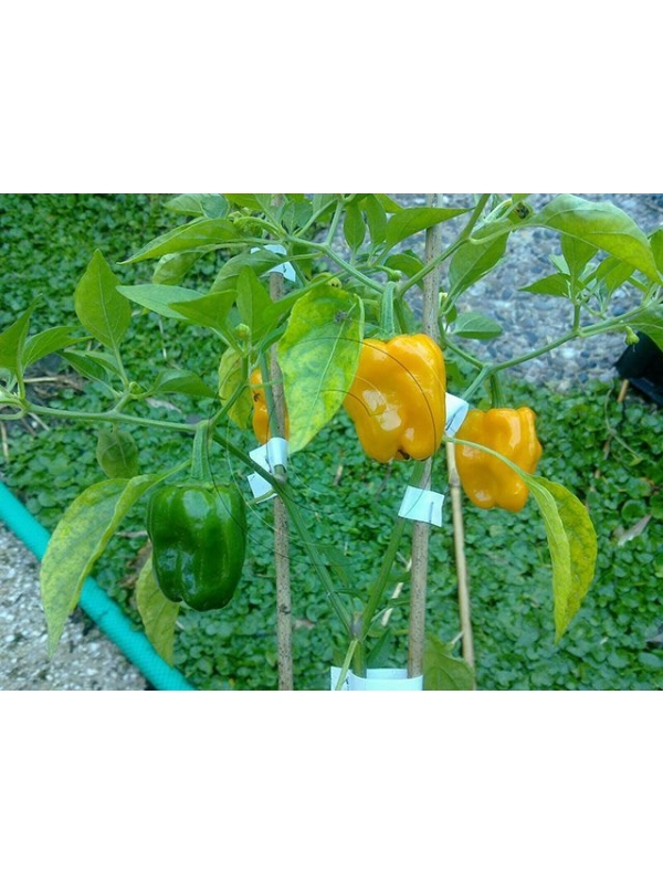 10 Semi/Seeds Habanero Orange  Devil