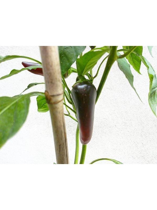 10 Semi/Seeds Jalapeno Purple