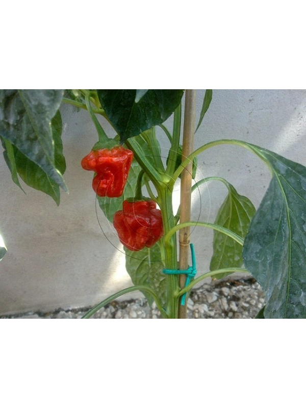10 Semi/Seeds Jamaican Red