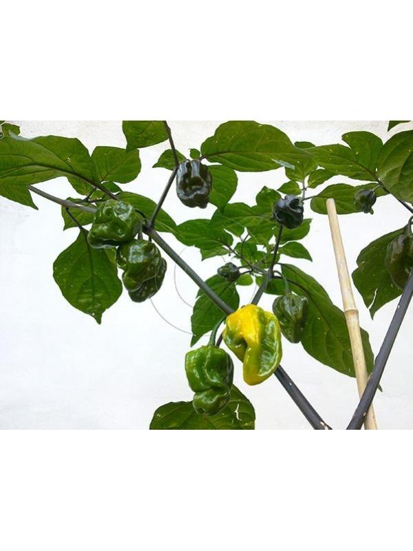 10 Semi/Seeds Pimenta Kathumby Yellow