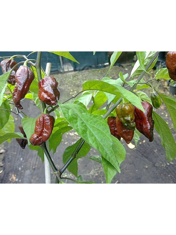 10 Semi/Seeds Brown Naga Viper