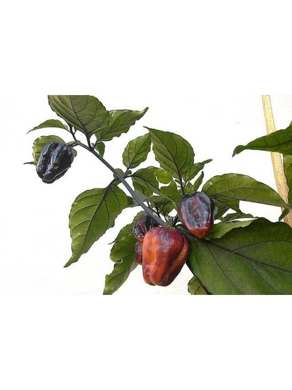 10 Semi/Seeds Pimenta Jolokia Purple
