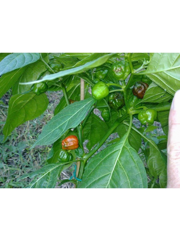 10 Semi/Seeds Phiringi Jolokia