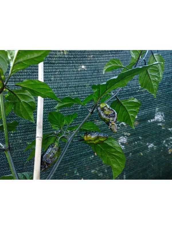 10 Semi/Seeds Pimenta Leopard