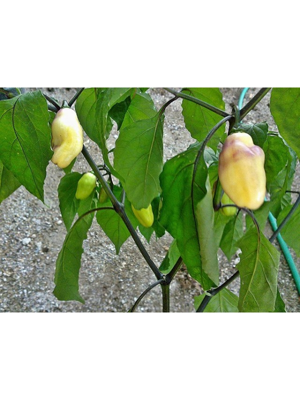10 Semi/Seeds Pimenta Lisa
