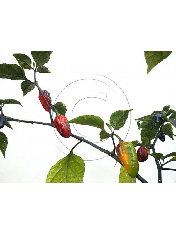 10 Semi/Seeds Pimenta Puma Red