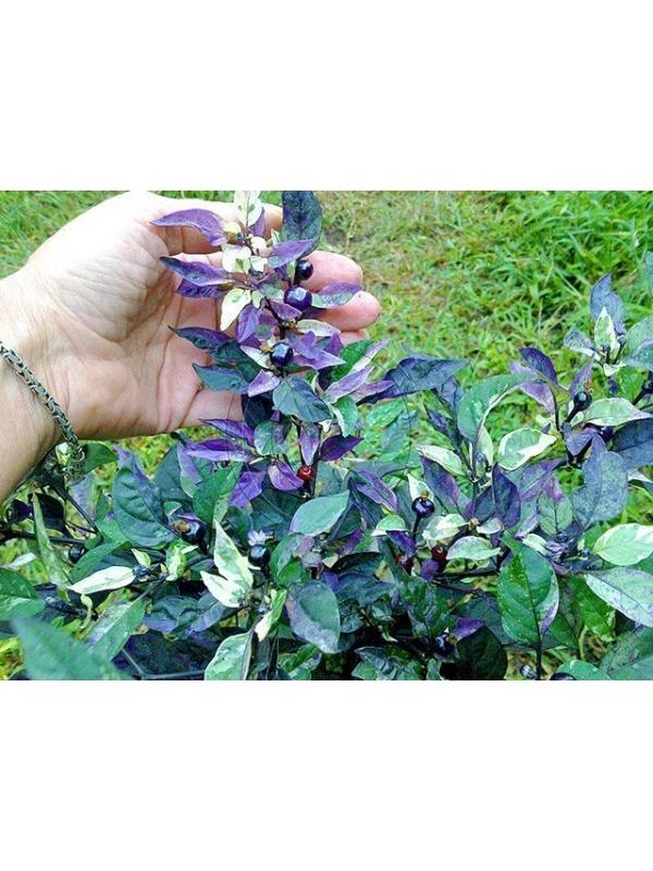 10 Semi/Seeds Purple Flash