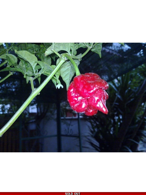10 Semi/Seeds Trinidad Scorpion Butch Taylor